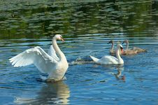 Free White Swans Royalty Free Stock Photography - 25979377