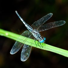 Free Blue Dragonfly On Green Leaf Stock Photo - 25979400