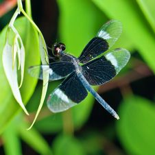 Free Blue Dragonfly On Green Leaf Royalty Free Stock Photo - 25979415