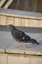 Free Pigeon Stock Photography - 25985032