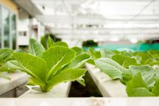Free Green Cos In Hydroponic Farm Stock Photo - 25981570