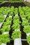 Free Green Oak In Hydroponic Farm Stock Photo - 25981990