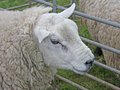 Free Wooly Sheep. Royalty Free Stock Photography - 25991027