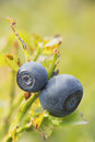 Free A Pair Of Blueberries On The Bush. Vertically. Royalty Free Stock Photography - 25994827