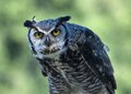 Free Great Horned Owl, &x28;Bubo Virginianus&x29; Stock Images - 25998484