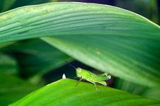 Free A Green Grasshopper On Green Leaf Stock Images - 25991094