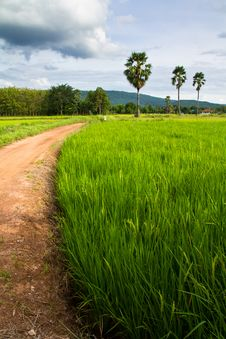 Rice Field And Road Stock Photo
