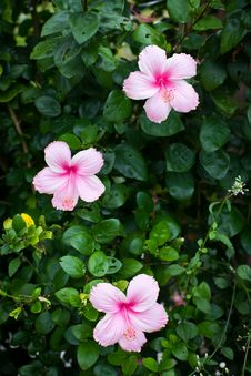 Free Hibiscus Flowers Royalty Free Stock Photography - 25992977