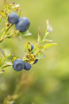Free Bush Of A Ripe Bilberry In The Summer Closeup Royalty Free Stock Photos - 25994838