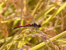 Free Dragonfly In A Rice Field Stock Photography - 260232