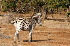 Free Zebra Royalty Free Stock Photo - 261155