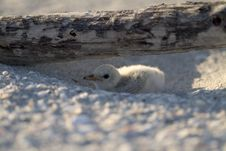 Free Baby Beach Bird Stock Photo - 261270