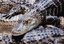 Free American Alligators Stock Images - 261514