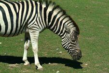 Free Zebra Stock Photo - 262020