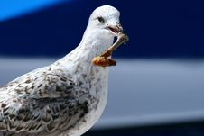 Seagull Take Away Royalty Free Stock Photography