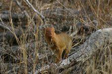 Free Mongoose Royalty Free Stock Images - 262099