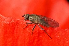 Free Fly In Poppy Flower Royalty Free Stock Images - 263469