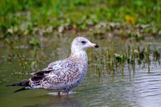Free Seagull 2 Royalty Free Stock Photography - 264497
