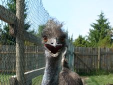 Free Emu Staring Stock Photos - 264813