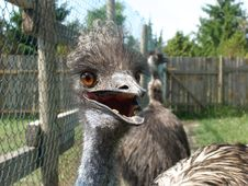 Free Emu At Close Stock Images - 264814