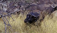 Free African Buffalo 2 Stock Photos - 265733