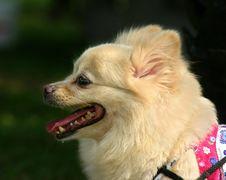 Free Pomeranian Royalty Free Stock Photos - 267068