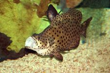 Free Brown With Black Spots Fish Stock Photo - 269800
