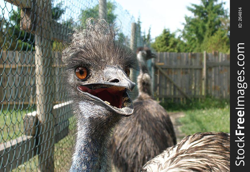 Emu at close