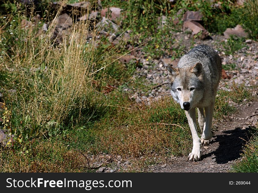 Wolf on Trail - Right Side