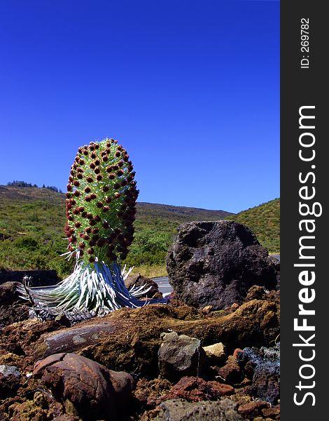 Hawaiin plant