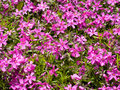 Free Violet Flowers Background Stock Image - 2601261