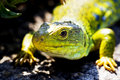 Free Close Up Of Green Lizard Royalty Free Stock Photo - 2601635