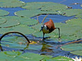 Free African Jacana 1 Stock Photos - 2602213