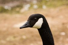 Free Closeup Of Brant Goose Royalty Free Stock Images - 2600759