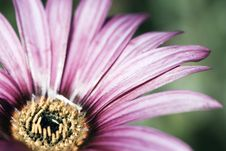 Free Pink Flower With Shallow Dof Royalty Free Stock Image - 2601636