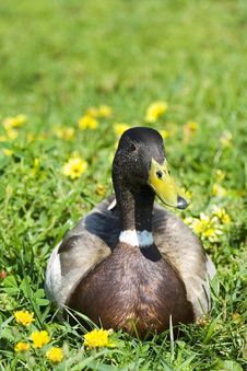 Free Small Duck Liying In Grass Royalty Free Stock Photography - 2601687