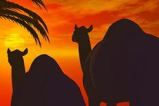 Free Camel Royalty Free Stock Photo - 2602505
