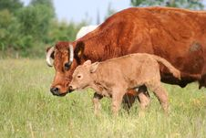 Free Cow And Calf In Pasture 01 Royalty Free Stock Image - 2603076