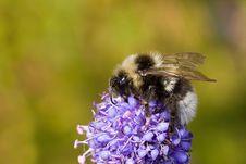 Free Silver Bumblebee Stock Photos - 2603323