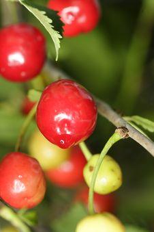 Free Sour Cherries Royalty Free Stock Photos - 2603588