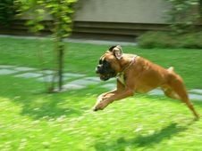 Free Boxer Puppy Big Jump Royalty Free Stock Images - 2604289
