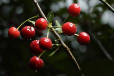 Free Sour Cherries Royalty Free Stock Images - 2605349