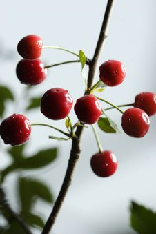 Free Sour Cherries Royalty Free Stock Images - 2605359
