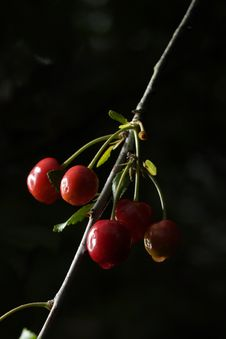 Free Sour Cherries Stock Photography - 2605402