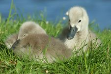 Free Cygnets Royalty Free Stock Photography - 2605787