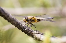 Free Dragonfly On A Pine Branch Stock Photography - 2605902