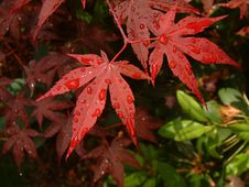 Asian Red Leaf Maple Tree Stock Images