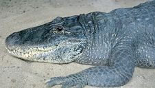 Free Mississipi Alligator 1 Royalty Free Stock Image - 2607896