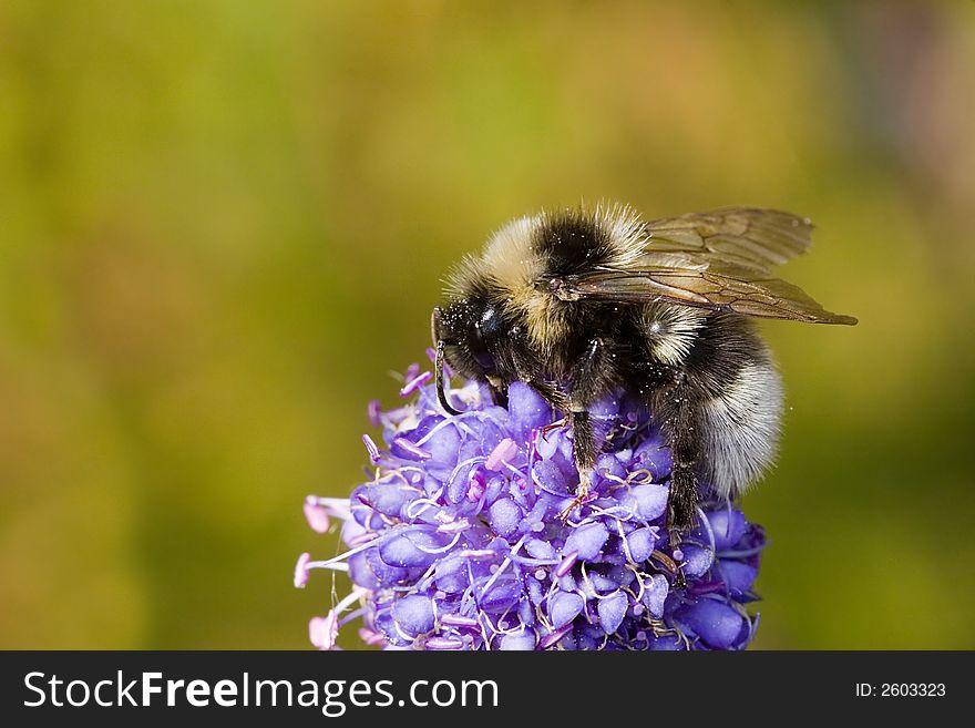 Silver bumblebee