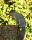 Free Grey Squirrel Royalty Free Stock Images - 26004559